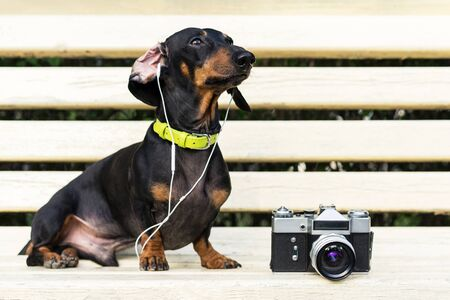 Cute dog dachshund, black and tan, in collar, listening to music with headphones, and vintage photo camera - relaxing outdoors in park