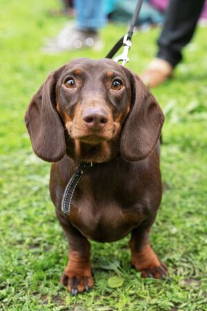 Portrait of a dachshund dog, dark red, with a collar, on a walk in the park, looking at the camera Stock Photo