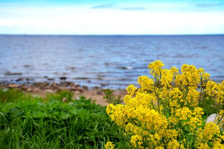 A bush of yellow flowers against the background of the blue Baltic Sea. Gulf of Finland. Mountain sea shore flower bush landscape. Sea  panorama.