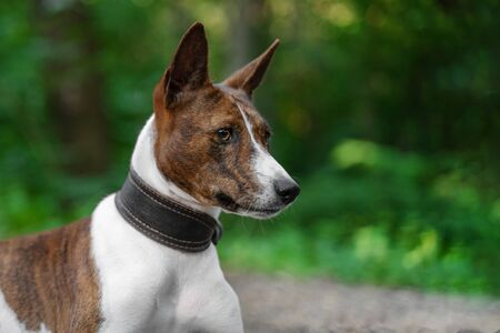 Portrait of a red basenji  in a summer forest. Basenji Kongo Terrier Dog.