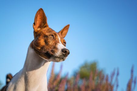 Portrait of a red basenji against the blue sky. Basenji Kongo Terrier Dog.