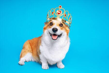 Perro gracioso pembroke welsh corgi en la corona, como un rey, un príncipe sobre un fondo azul de estudio