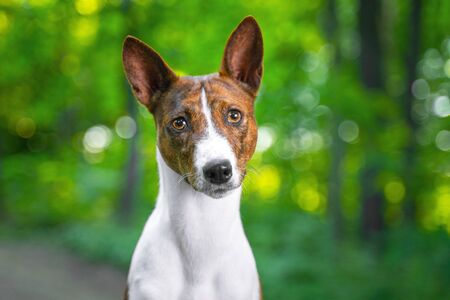 Portrait of a red basenji standing in a summer forest. Basenji Kongo Terrier Dog. Stock Photo