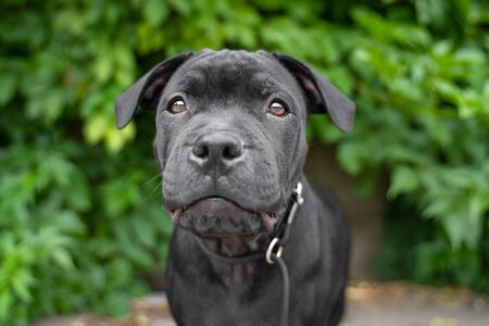 portrait puppy of black staffordshire bull terrier on the background of green trees in the park