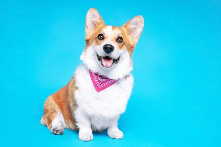 Portrait of a pembroke welsh corgi dog wearing pink bandana tie looking at the camera with mouth open seen from the front on a blue background Stock Photo