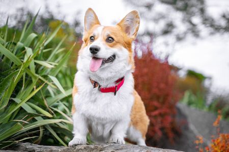 Happy and active purebred Welsh Corgi dog outdoors in the park on a sunny summer day. Stock Photo