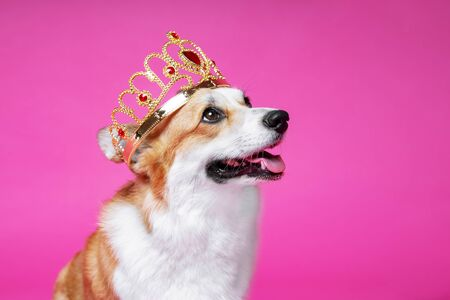 Funny dog pembroke welsh corgi in the crown, like a king, a prince on a pink studio background