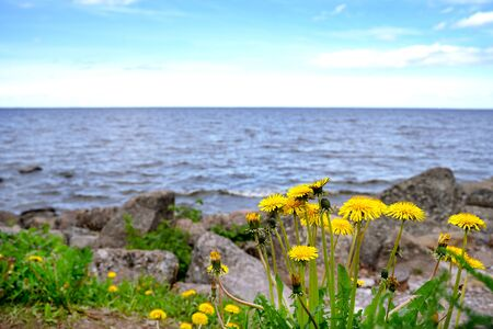 A bush of yellow dandelion against the background of the blue Baltic Sea. Gulf of Finland. Mountain sea shore flower bush landscape. Sea  panorama.