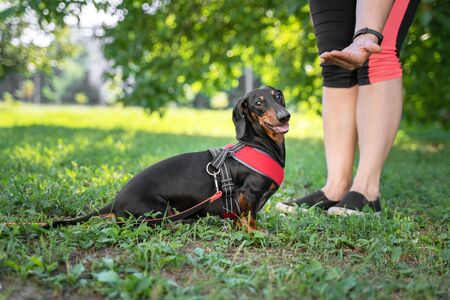 A owner giving a hand signal to a little breed dog dachshund for the command of lay down. Stock Photo