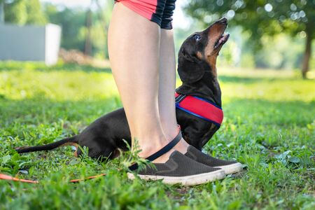 A owner giving a hand signal to a little breed dog dachshund for the command of sit down. Obedience training Stock Photo