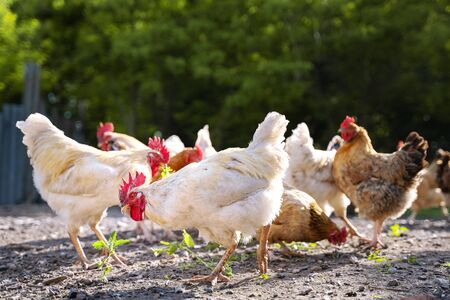 white and multicolored chickens in the yard in the countryside. Chickens walking in the yard Stockfoto