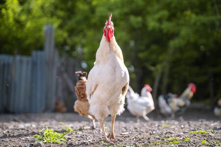White chicken cock standing in stotny yard on the background of green trees in summer Stockfoto
