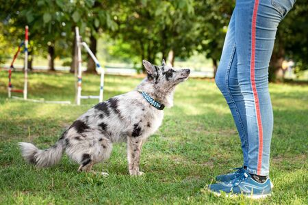 Obedient dog doing walking exercise with owner. training (Sit command) Stock Photo