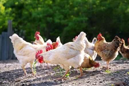 white and multicolored chickens in the yard in the countryside. Chickens walking in the yard Stock Photo