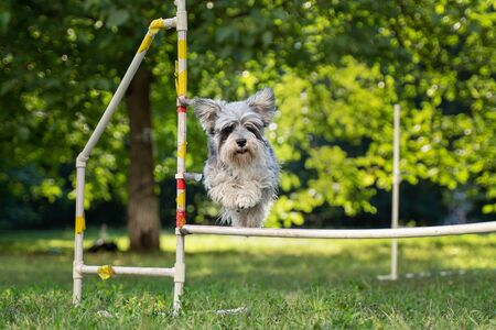 Cute small dog running on agility competition. Dog in an agility competition set up in a green grassy park.
