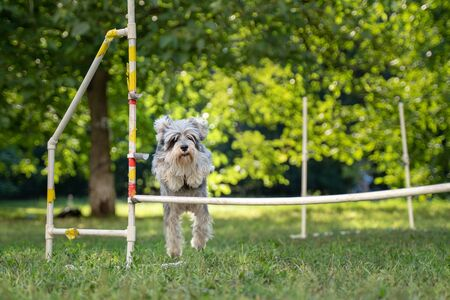 Cute small dog running on agility competition. Dog in an agility competition set up in a green grassy park