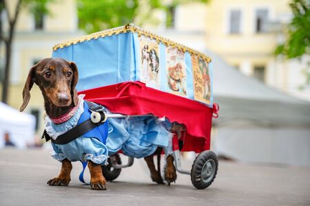 St. Petersburg, RUSSIA - 25 May, 2019: Portrait dog of the Dachshund is disabled breed in costume as a traveling theater in the park at a parade festival dachshund in St. Petersburg