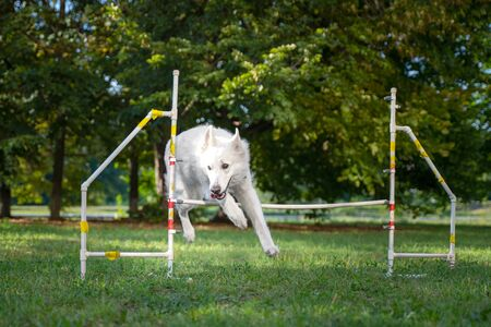 Cute dog running on agility competition. Dog in an agility competition set up in a green grassy park. white swiss shepherd jumping Stock Photo