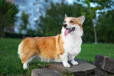 portrait happy and active purebred Welsh Corgi dog outdoors in the park on a sunny summer day.