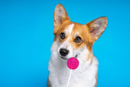Adorable dog pembroke welsh corgi enjoy dog looking at candy lollipop on a blue background. Fight the temptation seduction. Stok Fotoğraf