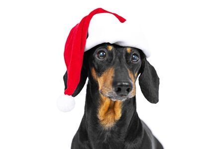 Close up portrait of funny beautiful dog breed dachshund, black and tan, wearing red christmas santa hat, not isolated on white background Stock Photo