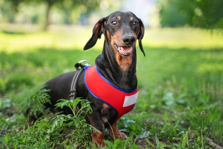 Portrait of a funny dog dachshund, black and tan, in red harness sits in the park.  dog smiling