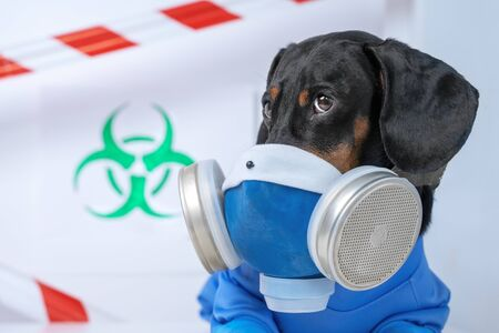 Black and tan cute dachshund dog in a hazardous materials suit with self-contained breathing apparatus in the laboratory. Biohazard warning sign and signal tape. Environmental Protection. Stok Fotoğraf