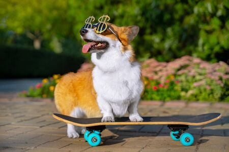 cute dog puppy redhead  pembroke welsh corgi in holiday glasses in the shape of a dollar standing  a skateboard on the street for a summer walk in the park, smiling, sticking out his tongue