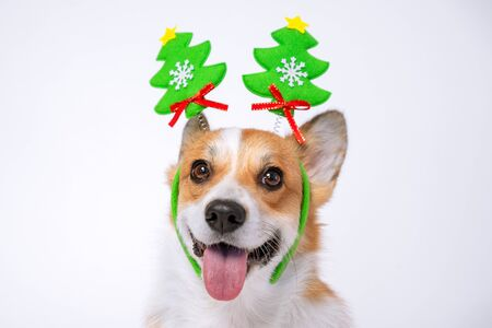 Close up portrait of funny cute red and white corgi wearing funny Christmas rim on the head, with green new year trees.
