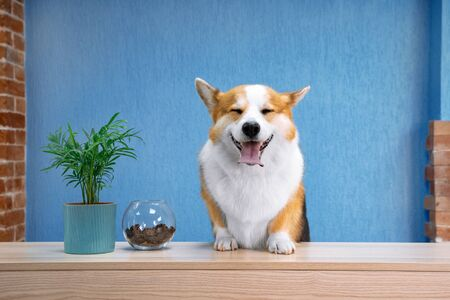 Cute ginger and white dog of welsh corgi pembroke breed sits on the desk of reception. Funny face expression, smiling friendly dog welcoming the guests of hotel or salon. Bright blue wall background. 免版税图像