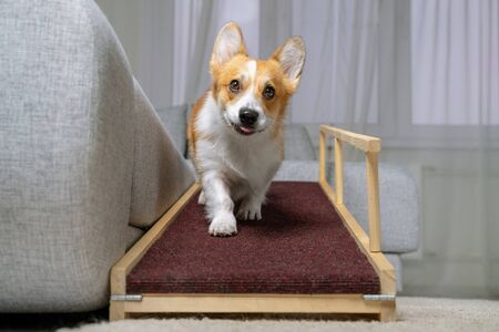 A funny welsh corgi pembroke dog,coming down on a home ramp. Safe of back health in a small dog.