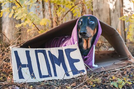Cute little miserable black and tan dachshund sits inside cardboards and trembles. Inscription Home, begging to adoption. Homeless dog concept. Outdoors, autumn day, cold weather. Stock Photo