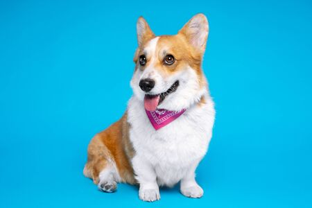 Beautiful Corgi with a pink scarf on a white breast sits in front of the camera Zdjęcie Seryjne