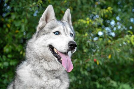 portrait of a cute siberian husky smile and  happy in summer sunny day for a walk in the summer park