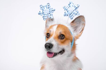 Close up portrait of funny cute red and white corgi wearing funny Christmas rim on the head, with shiny blue snowflakes. Zdjęcie Seryjne