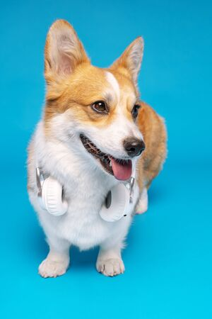 Pembroke Welsh Corgi puppy isolated on a blue background