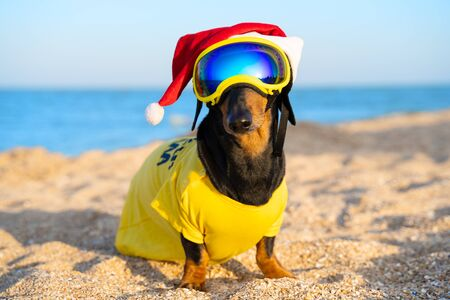 Pretty black and tan dachshund sitting on the sand beach, wearing bright yellow t-shirt, Santa Claus cap and spectacular blue glasses. Christmas or New Year holiday in summer. Outdoor, sea background. Zdjęcie Seryjne