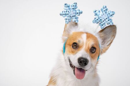 Close up portrait of funny cute red and white corgi wearing funny Christmas rim on the head, with shiny blue snowflakes. Adorable dog eyes and face expression, white background. Zdjęcie Seryjne