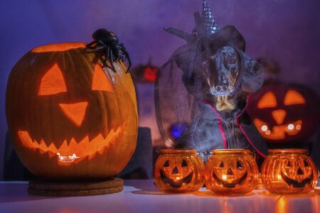 dachshund dog dressed in a black halloween costume and a witch hat is standing in a twilight fog against the background of orange pumpkin lantern or  light. Scary and spooky