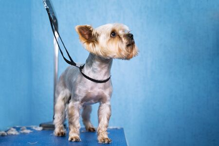 happy dog Yorkshire terrier  after haircut stands on grooming table in  salon Zdjęcie Seryjne