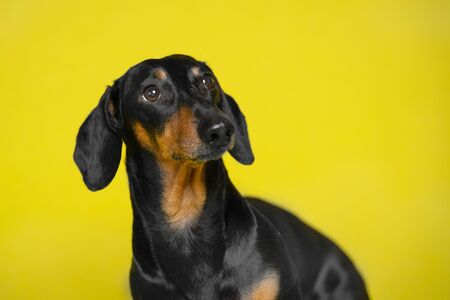 portrait black and tan cute cute dachshund  on the isolated yellow background. Dog training. Space for writing text (letters).