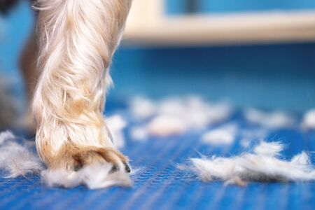 close up of paw Yorkshire terrier and fur after shearing a dog with a mechanical trimer falls on the table in grooming salon Stock fotó - 135468965