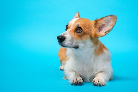 portrait of cute healthy and happy smart pembroke welsh corgi lies and looks up in the photo studio on the blue background Stock fotó - 135469658