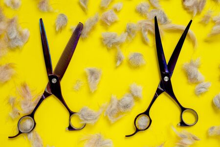 Two close up grooming professional scissors with lots of shreds of animal fur on bright yellow background Zdjęcie Seryjne