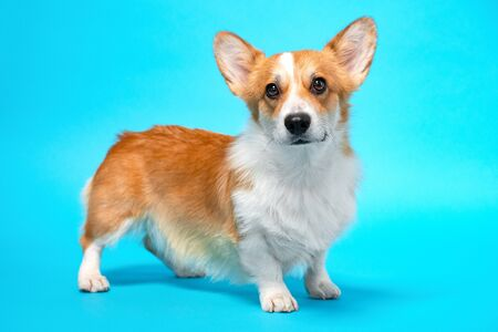 portrait of amazing healthy and happy smart pembroke welsh corgi in the photo studio on the blue background. Stock fotó