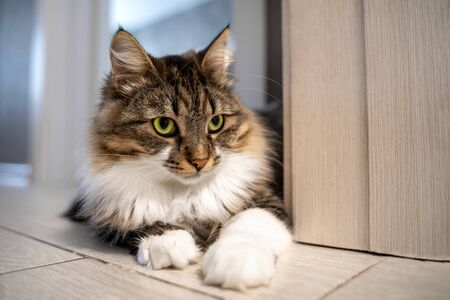 Beautiful cat with bright green eyes lays on the floor in the apartment. Adorable well-conditioned pet at home concept. Crazy eyes expression.