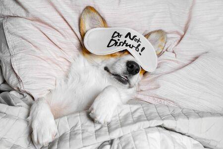 Cute Corgi Sleeps On The Bed With Eye Mask. Live with schedule, time to wake up. Zdjęcie Seryjne
