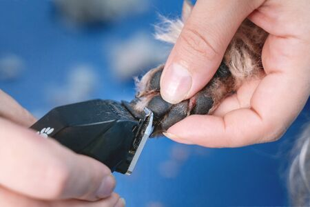 close up groomer cuts fur on paws dog with a mechanical trimer in grooming salon. Stock fotó