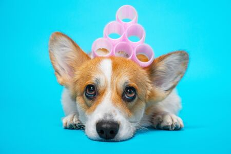 Cute ginger and white corgi lays on the blue background with pink hair curlers on the head. Funny picture, humor, pet beauty or animal grooming, spa salon concept.
