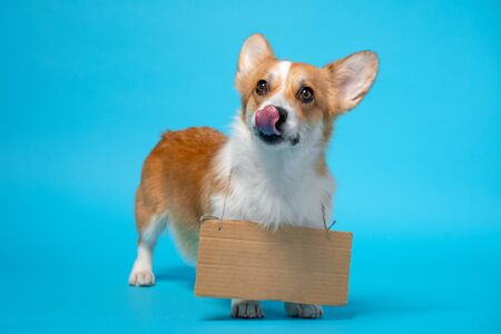 Cute ginger and white corgi stands on the blue background, licking, with  on cardboard on its chest. Stock fotó